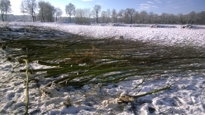 Harvested willow tree strips at site Mariensee